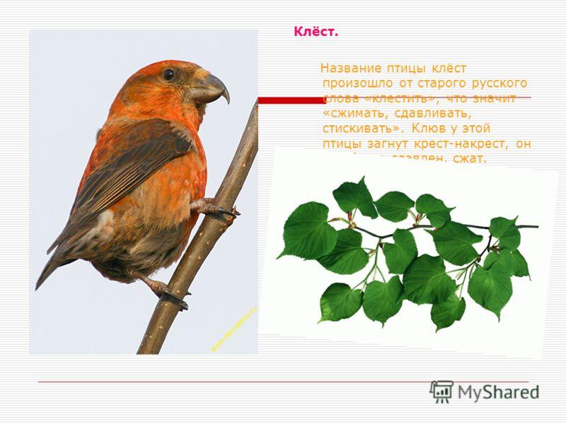 Клёст. Название птицы клёст произошло от старого русского слова «клестить», что значит «сжимать, сдавливать, стискивать». Клюв у этой птицы загнут крест-накрест, он как будто сдавлен, сжат.