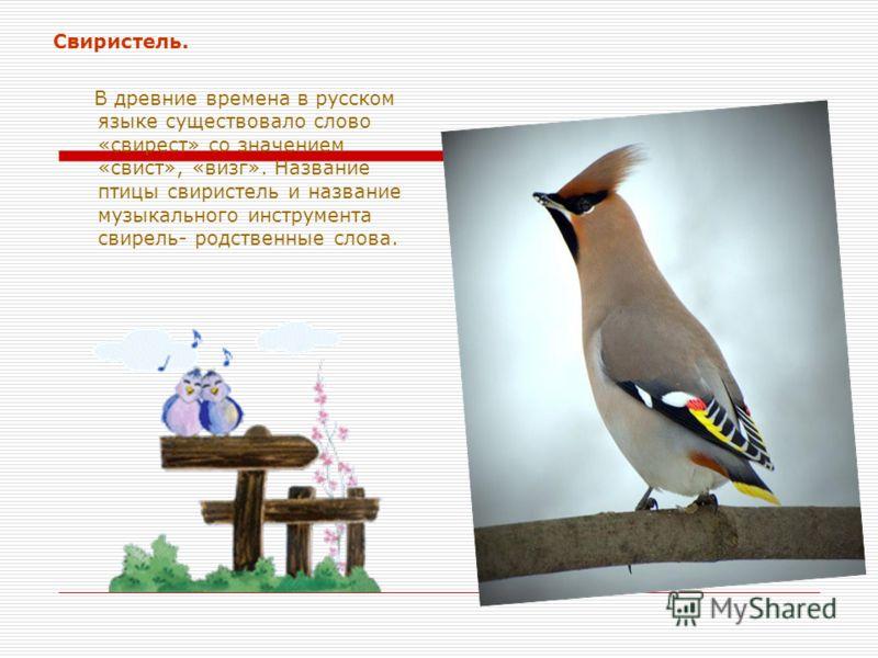 Свиристель. В древние времена в русском языке существовало слово «свирест» со значением «свист», «визг». Название птицы свиристель и название музыкального инструмента свирель- родственные слова.