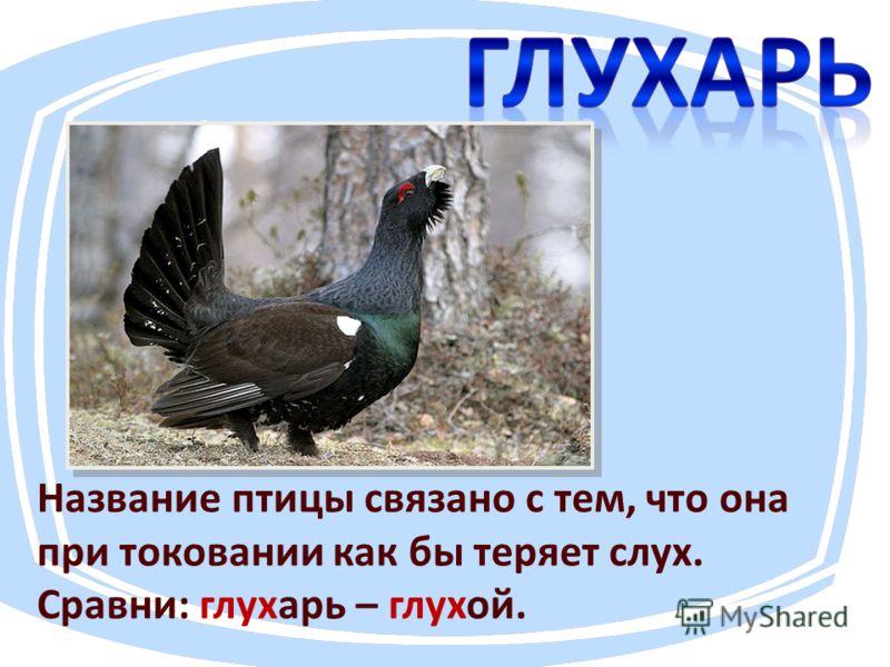 Название птицы связано с тем, что она при токовании как бы теряет слух. Сравни: глухарь – глухой.