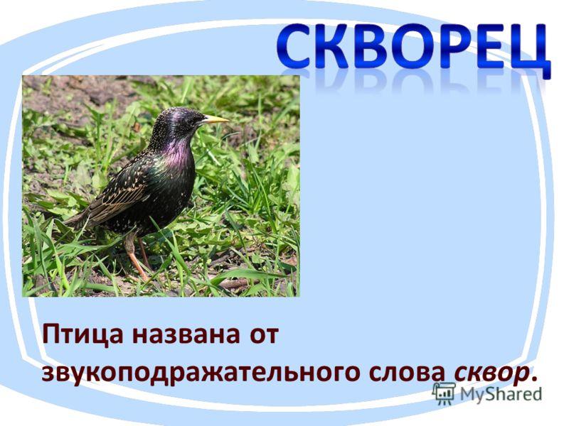 Птица названа от звукоподражательнего слова сквер.