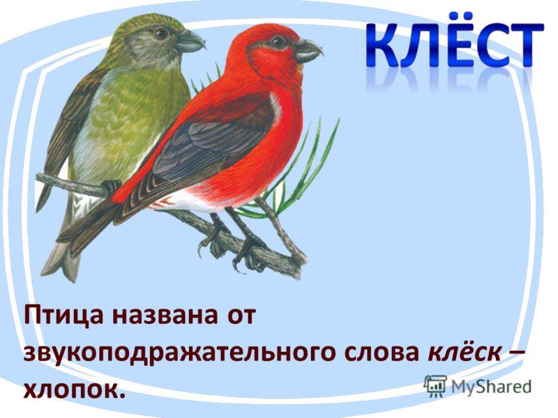 Птица названа от звукоподражательнего слова клёск – хлопок.