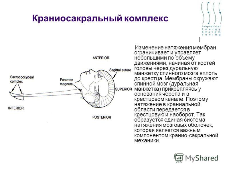Краниосакральный комплекс Изменение натяжения мембран ограничивает и управляет небольшими по объему движениями, начиная от костей головы через дуральную манжетку спинного мозга вплоть до крестца, Мембраны окружают спинной мозг (дуральная манжетка) пр
