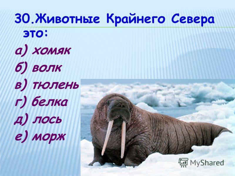 30.Животные Крайнего Севера это: а) хомяк б) волк в) тюлень г) белка д) лось е) морж