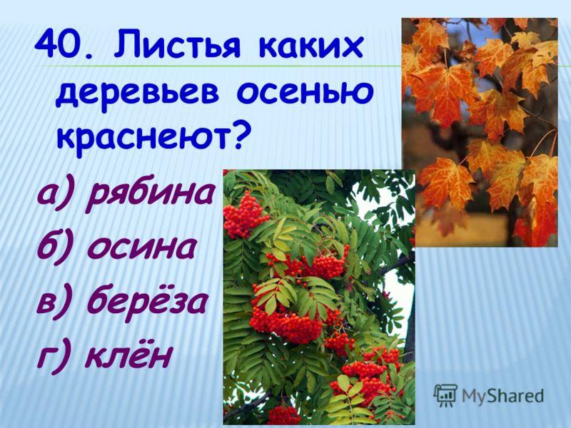 40. Листья каких деревьев осенью краснеют? а) рябина б) осина в) берёза г) клён