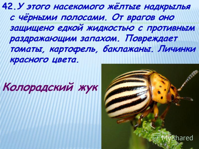 42.У этого насекомого жёлтые надкрылья с чёрными полосами. От врагов оно защищено едкой жидкостью с противным раздражающим запахом. Повреждает томаты, картофель, баклажаны. Личинки красного цвета. Колорадский жук