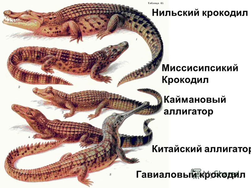 the life cycle food and habitat of the alligator mississippiensis