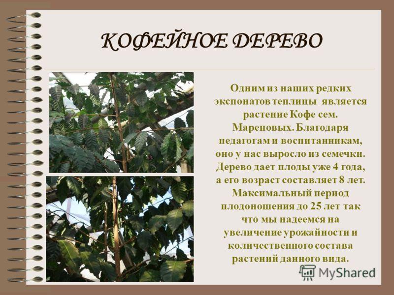 КАКТУСЫ Так же ЭБЦ является обладателем ОПУНЦИИ сем. Кактусовых, огромных размеров, которые не встречаются в дальневосточных климатических условиях т.к. это преимущественно растения стран Средиземноморья.