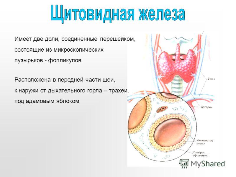 Имеет две доли, соединенные перешейком, состоящие из микроскопических пузырьков - фолликулов Расположена в передней части шеи, к наружи от дыхательного горла – трахеи, под адамовым яблоком