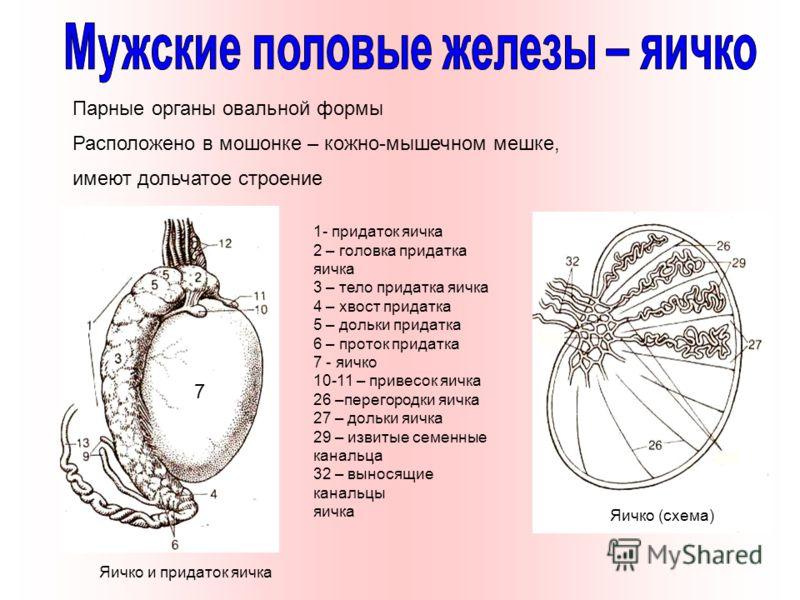Парные органы овальной формы Расположено в мошонке – кожно-мышечном мешке, имеют дольчатое строение Яичко и придаток яичка Яичко (схема) 1- придаток яичка 2 – головка придатка яичка 3 – тело придатка яичка 4 – хвост придатка 5 – дольки придатка 6 – п