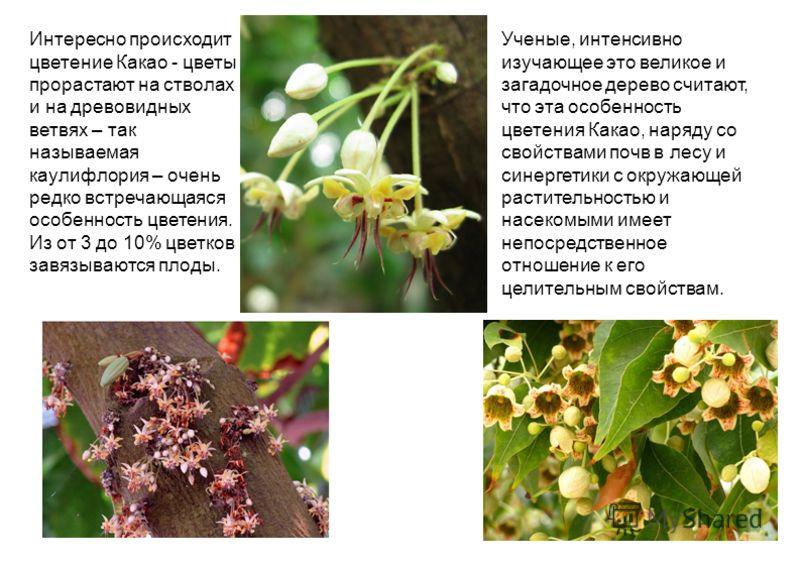 Интересно происходит цветение Какао - цветы прорастают на стволах и на древовидных ветвях – так называемая каулифлория – очень редко встречающаяся особенность цветения. Из от 3 до 10% цветков завязываются плоды. Ученые, интенсивно изучающее это велик