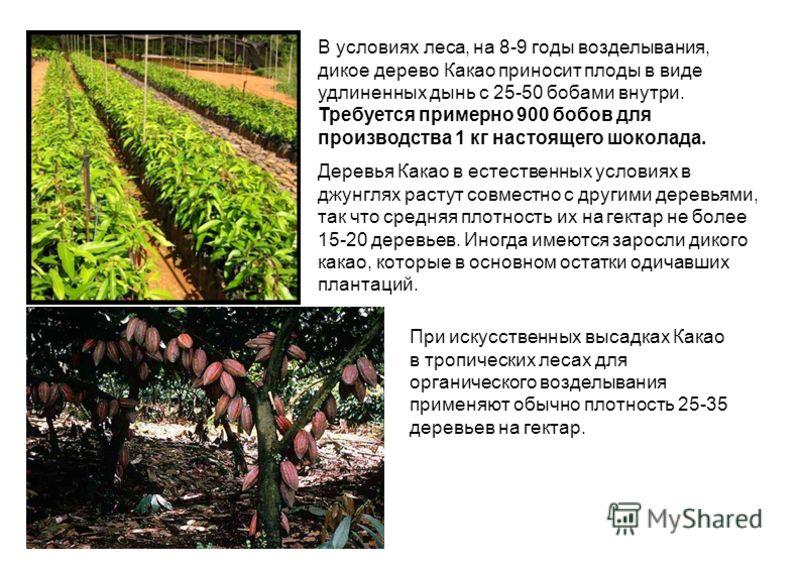 В условиях леса, на 8-9 годы возделывания, дикое дерево Какао приносит плоды в виде удлиненных дынь с 25-50 бобами внутри. Требуется примерно 900 бобов для производства 1 кг настоящего шоколада. Деревья Какао в естественных условиях в джунглях растут