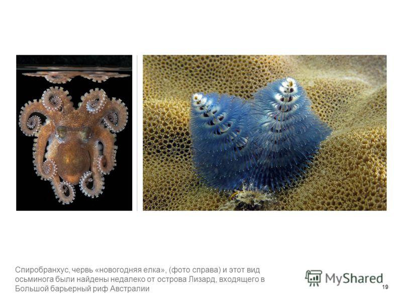 Спиробранхус, червь «новогодняя елка», (фото справа) и этот вид осьминога были найдены недалеко от острова Лизард, входящего в Большой барьерный риф Австралии 19