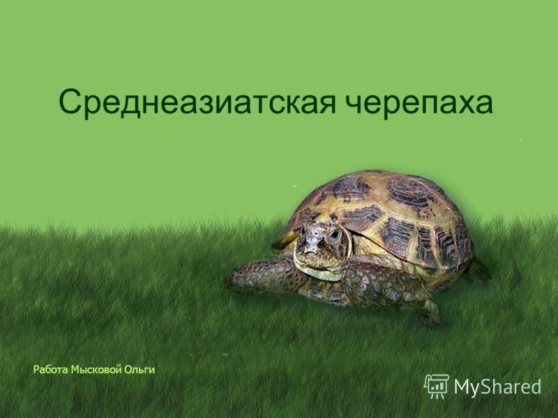 Работа Мысковой Ольги Среднеазиатская черепаха