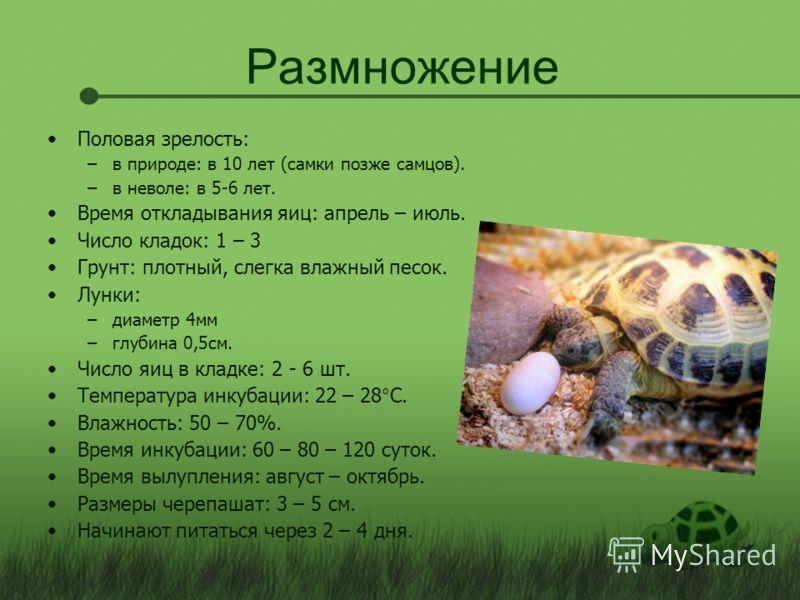 Размножение Половая зрелость: –в природе: в 10 лет (самки позже самцов). –в неволе: в 5-6 лет. Время откладывания яиц: апрель – июль. Число кладок: 1 – 3 Грунт: плотный, слегка влажный песок. Лунки: –диаметр 4 мм –глубина 0,5 см. Число яиц в кладке: