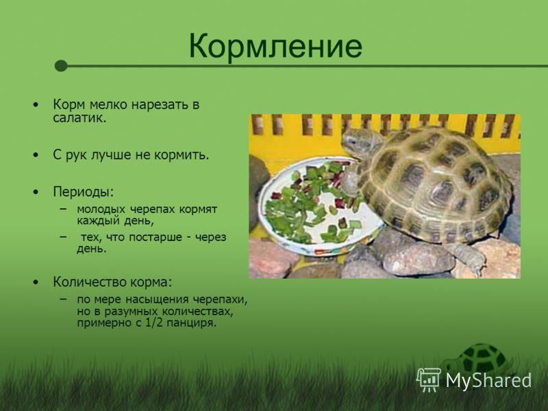 Кормление Корм мелко нарезать в салатик. С рук лучше не кормить. Периоды: –молодых черепах кормят каждый день, – тех, что постарше - через день. Количество корма: –по мере насыщения черепахи, но в разумных количествах, примерно с 1/2 панциря.