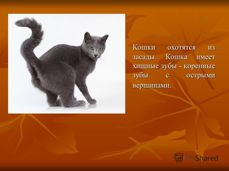 Кошки обладают сильной мускулатурой и гибким позвоночником. Если бы тигр имел такие же сильные мышцы, как кошка, он мог бы прыгнуть в высоту на 14-16 метров.