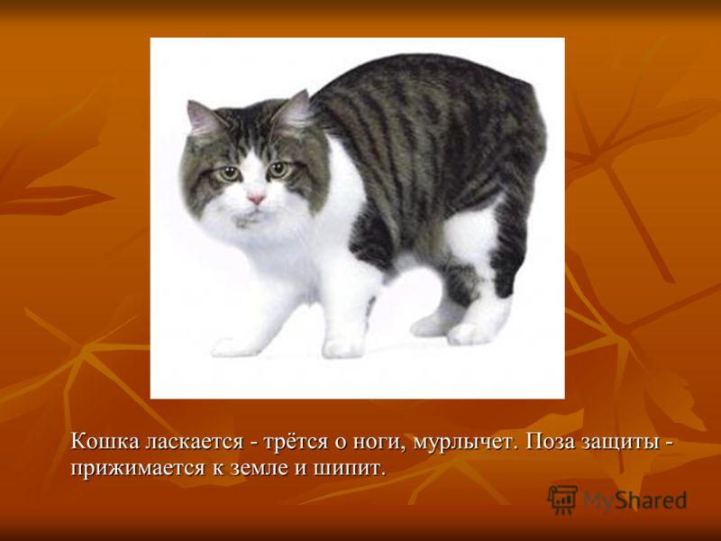 Кошка имеет острые изогнутые когти, чтобы выпустить когти кошка должна выпрямить пальцы. Кошка периодически стачивает когти.