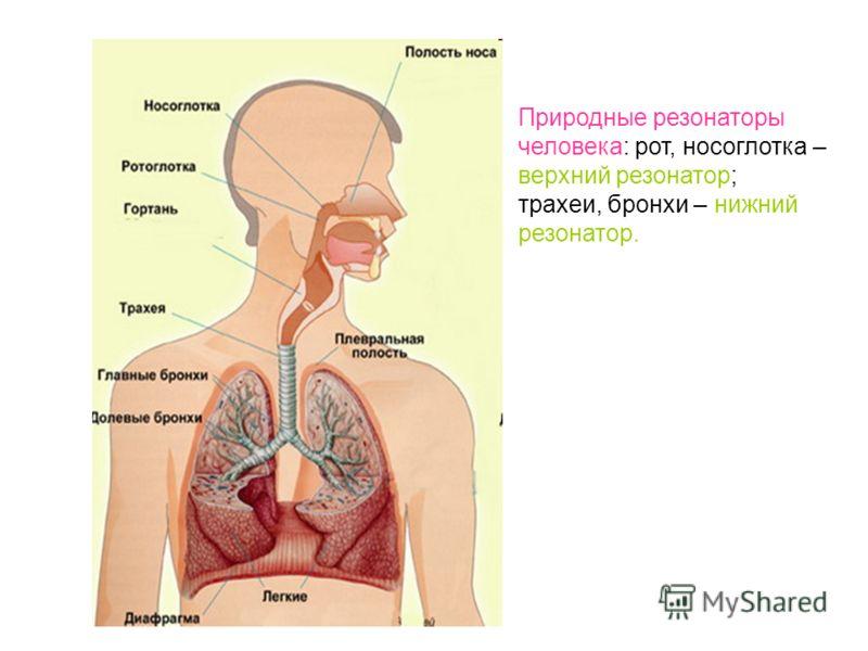 Природные резонаторы человека: рот, носоглотка – верхний резонатор; трахеи, бронхи – нижний резонатор.