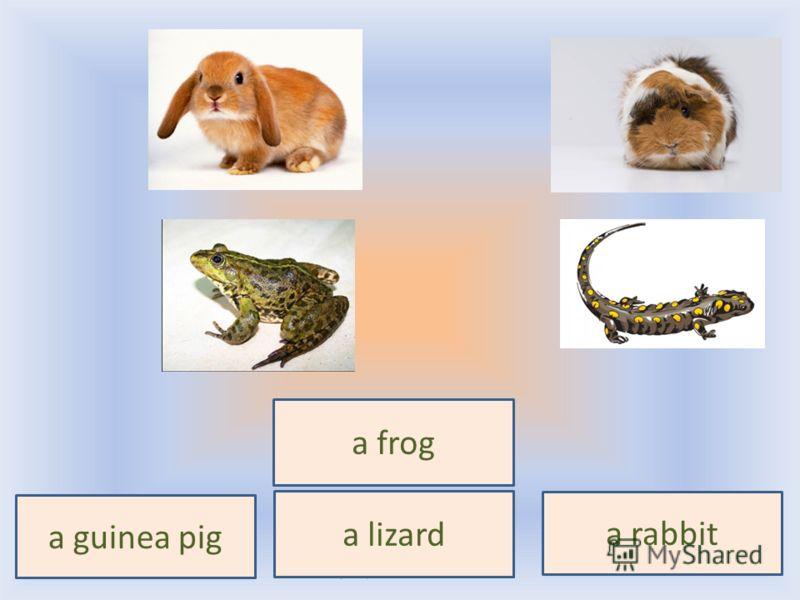 a frog a lizard a guinea pig a rabbit