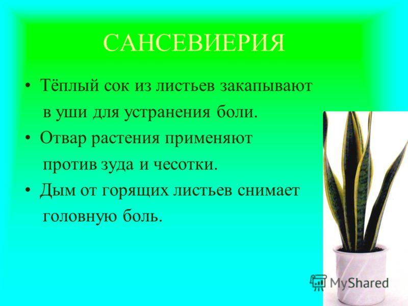 САНСЕВИЕРИЯ Тёплый сок из листьев закапывают в уши для устранения боли. Отвар растения применяют против зуда и чесотки. Дым от горящих листьев снимает головную боль.