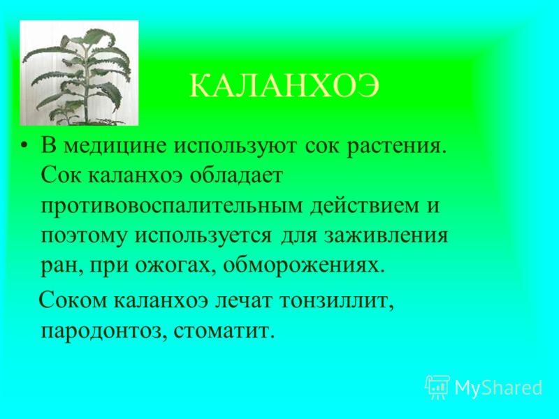 КАЛАНХОЭ В медицине используют сок растения. Сок каланхоэ обладает противовоспалительным действием и поэтому используется для заживления ран, при ожогах, обморожениях. Соком каланхоэ лечат тонзиллит, пародонтоз, стоматит.