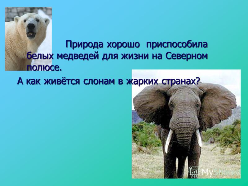 Природа хорошо приспособила белых медведей для жизни на Северном полюсе. Природа хорошо приспособила белых медведей для жизни на Северном полюсе. А как живётся слонам в жарких странах?