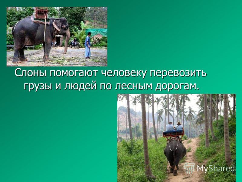 Слоны помогают человеку перевозить грузы и людей по лесным дорогам.
