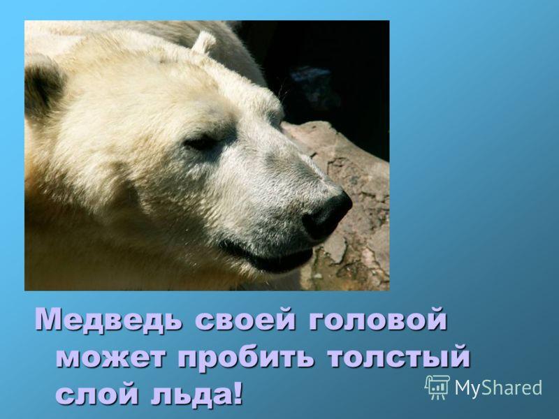 Медведь своей головой может пробить толстый слой льда!
