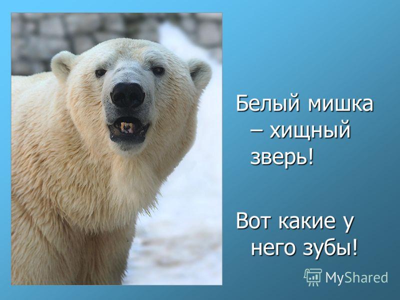 Белый мишка – хищный зверь! Вот какие у него зубы!
