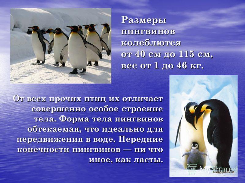 Размерыпингвиновколеблются от 40 см до 115 см, вес от 1 до 46 кг. От всех прочих птиц их отличает совершенно особое строение тела. Форма тела пингвинов обтекаемая, что идеально для передвижения в воде. Передние конечности пингвинов ни что иное, как л