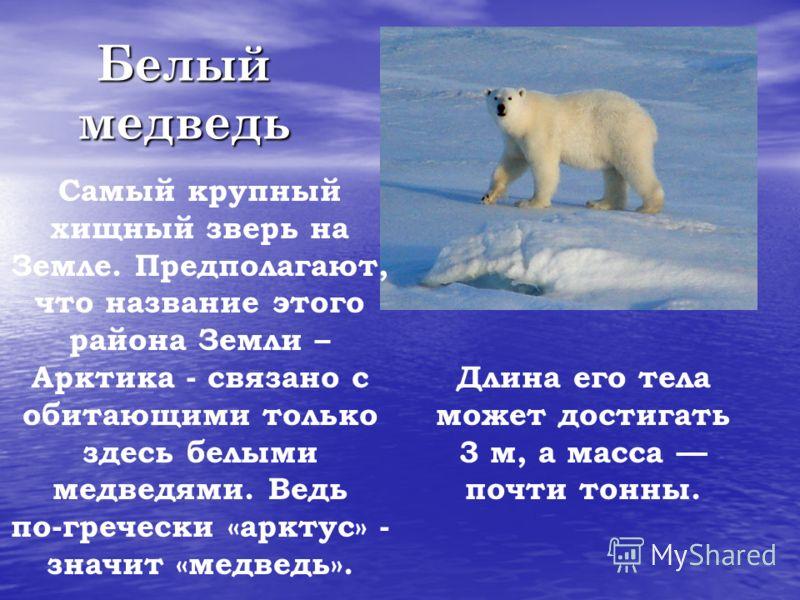 Белый медведь Самый крупный хищный зверь на Земле. Предполагают, что название этого района Земли – Арктика - связано с обитающими только здесь белыми медведями. Ведь по-гречески «арктус» - значит «медведь». Длина его тела может достигать 3 м, а масса