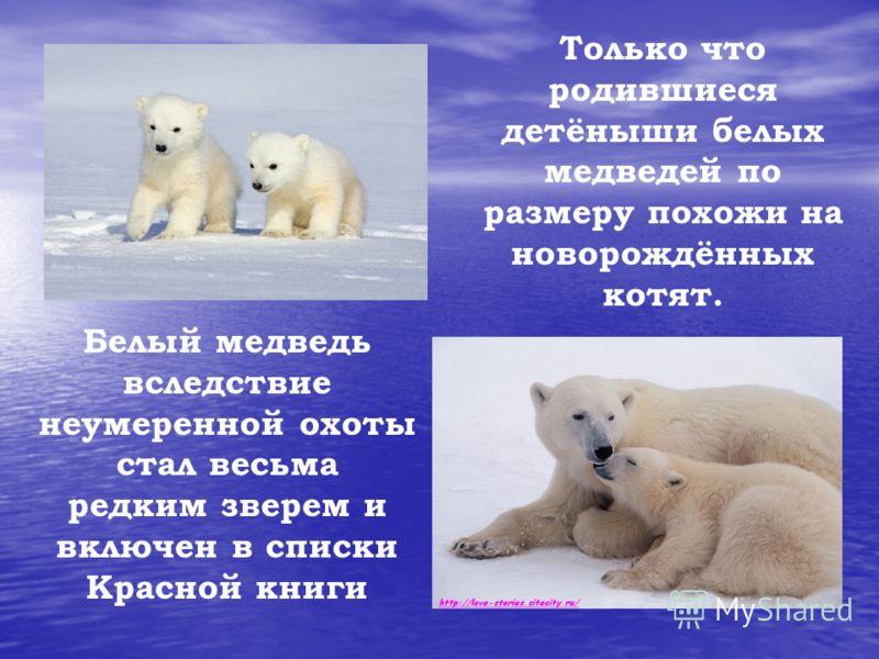 Белый медведь вследствие неумеренной охоты стал весьма редким зверем и включен в списки Красной книги Только что родившиеся детёныши белых медведей по размеру похожи на новорождённых котят.