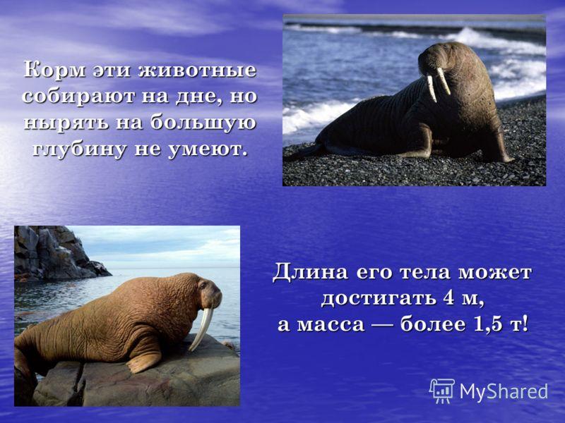 Длина его тела может достигать 4 м, а масса более 1,5 т! Корм эти животные собирают на дне, но нырять на большую глубину не умеют.