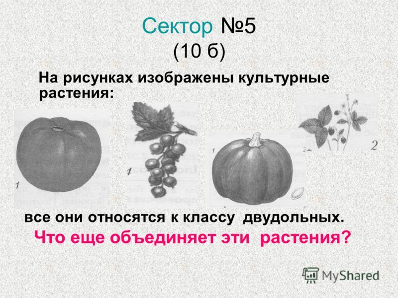 Сектор 5 (10 б) На рисунках изображены культурные растения: все они относятся к классу двудольных. Что еще объединяет эти растения?