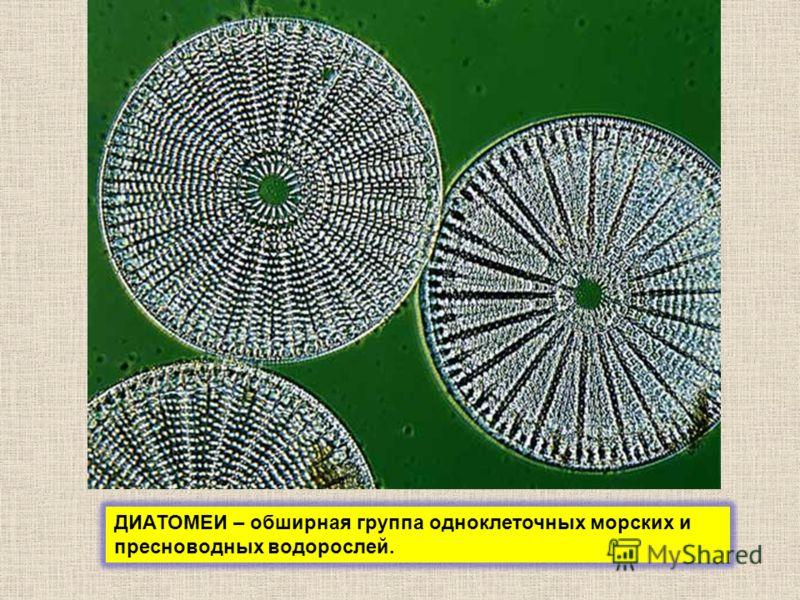 ДИАТОМЕИ – обширная группа одноклеточных морских и пресноводных водорослей.