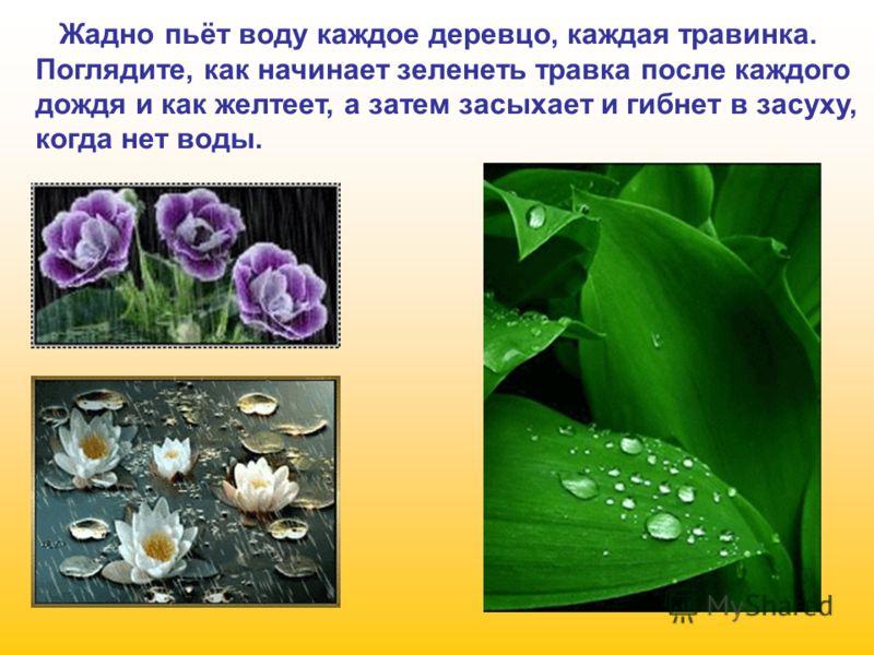 Жадно пьёт воду каждое деревцо, каждая травинка. Поглядите, как начинает зеленеть травка после каждого дождя и как желтеет, а затем засыхает и гибнет в засуху, когда нет воды.