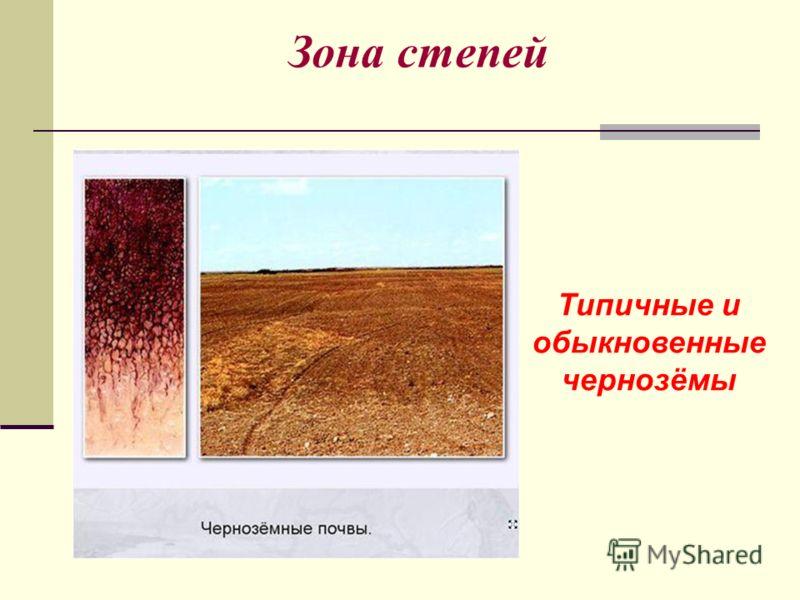 Зона степей Типичные и обыкновенные чернозёмы