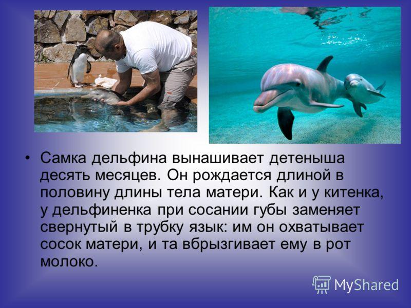 Самка дельфина вынашивает детеныша десять месяцев. Он рождается длиной в половину длины тела матери. Как и у китенка, у дельфиненка при сосании губы заменяет свернутый в трубку язык: им он охватывает сосок матери, и та выбрызгивает ему в рот молоко.