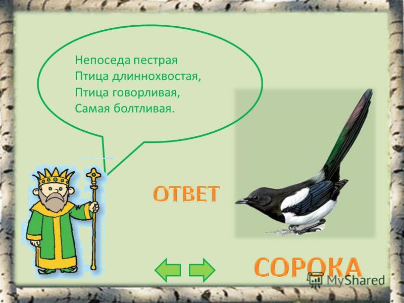 Непоседа пестрая Птица длиннохвостая, Птица говорливая, Самая болтливая.