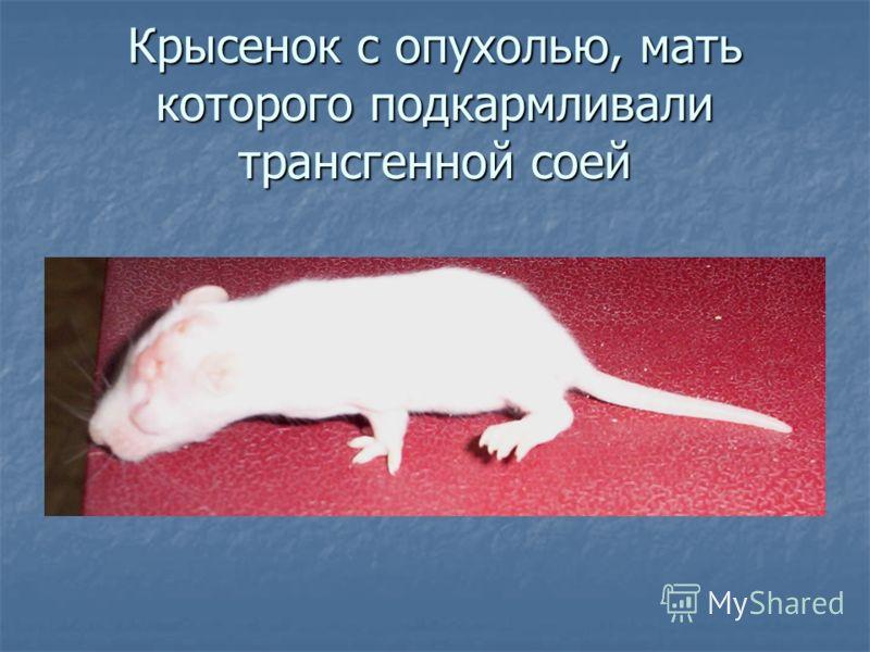 Крысенок с опухолью, мать которого подкармливали трансгенной соей