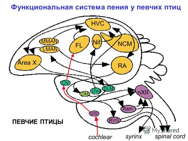 NDC Area X FL NC Ai nXII NF Ov DM Uva DLM VIII RVG Ram syrinx spinal cord cochlear «НЕПЕВЧИЕ» ПТИЦЫ Система слуха и вокализации у птиц