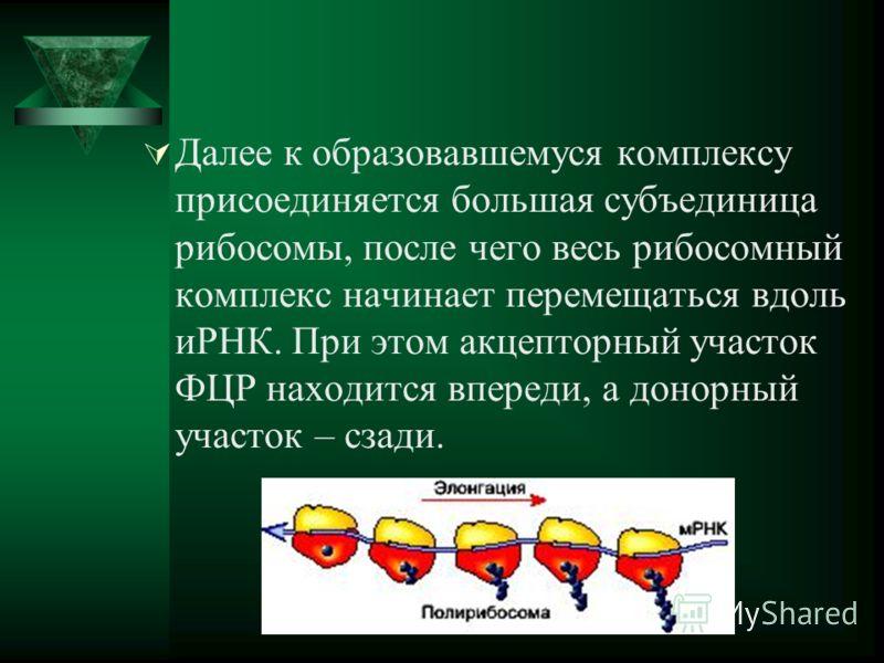 Далее к образовавшемуся комплексу присоединяется большая субъединица рибосомы, после чего весь рибосомный комплекс начинает перемещаться вдоль иРНК. При этом акцепторный участок ФЦР находится впереди, а донорный участок – сзади.