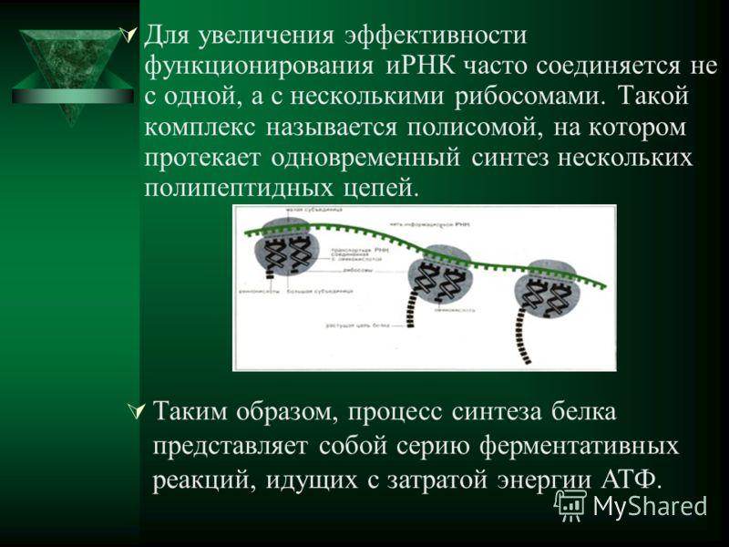 Для увеличения эффективности функционирования иРНК часто соединяется не с одной, а с несколькими рибосомами. Такой комплекс называется полисомой, на котором протекает одновременный синтез нескольких полипептидных цепей. Таким образом, процесс синтеза