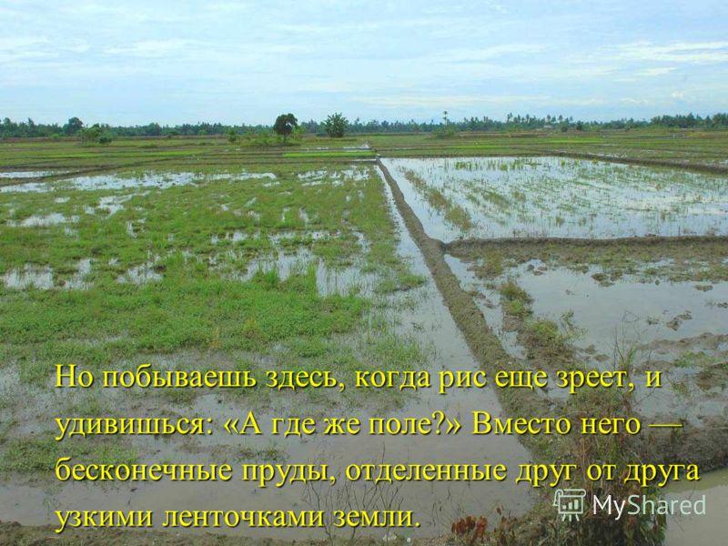 Но побываешь здесь, когда рис еще зреет, и удивишься: «А где же поле?» Вместо него бесконечные пруды, отделенные друг от друга узкими ленточками земли. Но побываешь здесь, когда рис еще зреет, и удивишься: «А где же поле?» Вместо него бесконечные пру