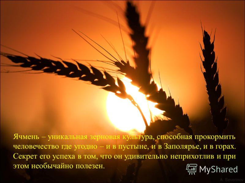 Ячмень – уникальная зерновая культура, способная прокормить человечество где угодно – и в пустыне, и в Заполярье, и в горах. Секрет его успеха в том, что он удивительно неприхотлив и при этом необычайно полезен.