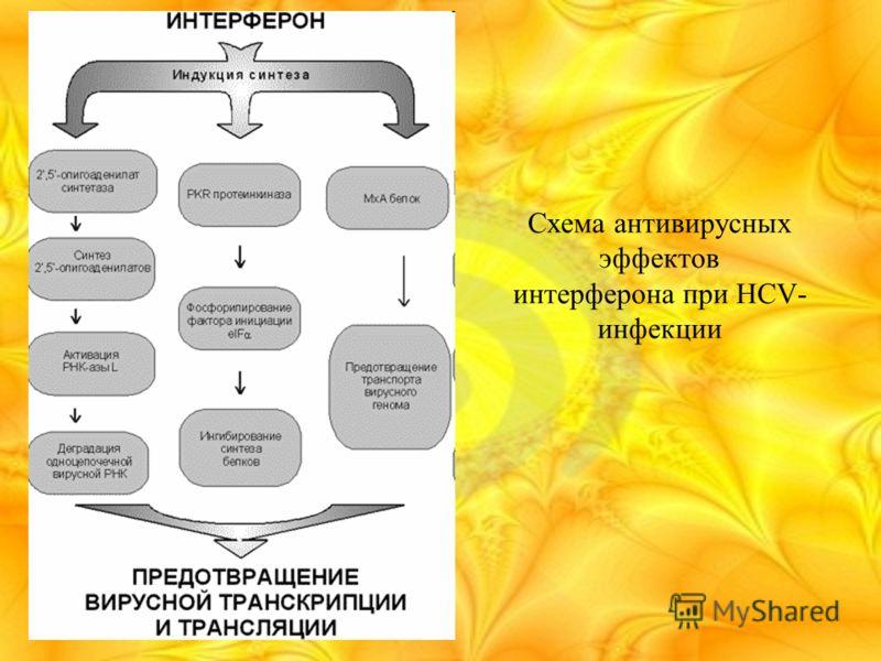 Схема антивирусных эффектов интерферона при HCV- инфекции
