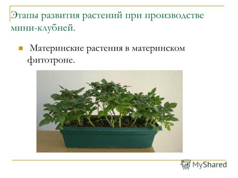 Этапы развития растений при производстве мини-клубней. Материнские растения в материнском фитотроне.