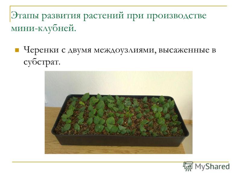 Этапы развития растений при производстве мини-клубней. Черенки с двумя междоузлиями, высаженные в субстрат.