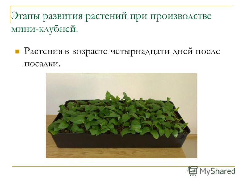Этапы развития растений при производстве мини-клубней. Растения в возрасте четырнадцати дней после посадки.