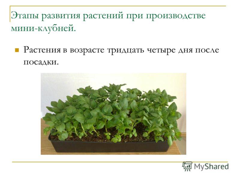 Этапы развития растений при производстве мини-клубней. Растения в возрасте тридцать четыре дня после посадки.
